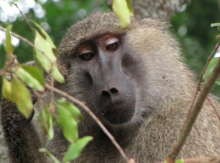A vain baboon looking very smug.
