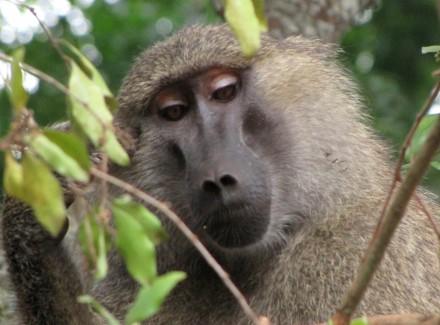 A vain baboon looking very smug.
