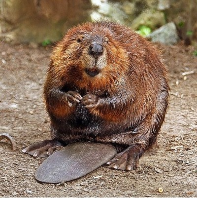 Seems this beaver lost its testicles.