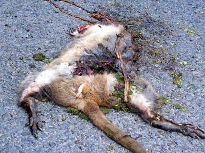 Road kill diet is recommended.