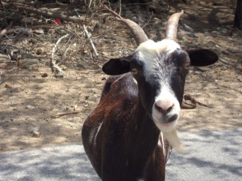 This goat probably has lots to say.